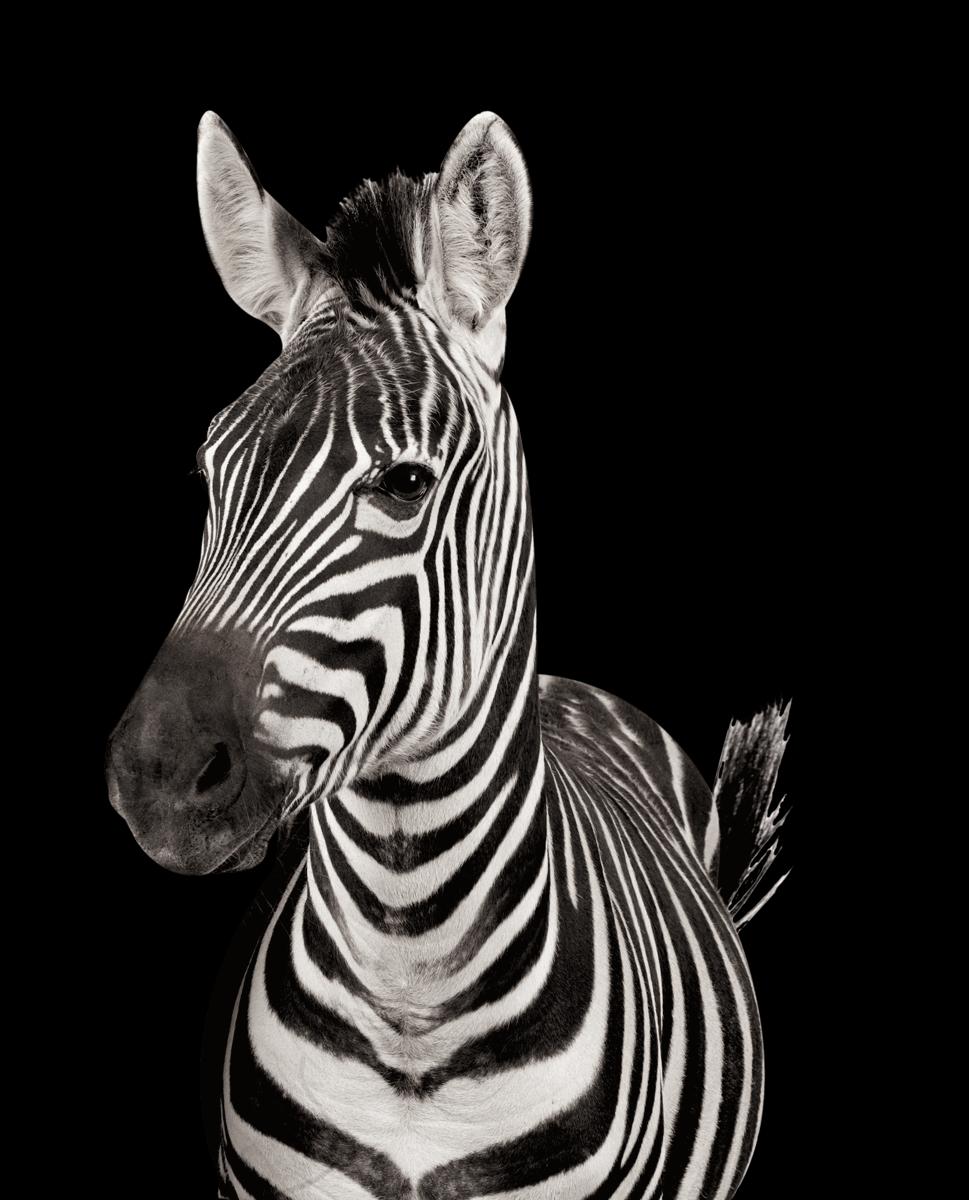 hpi-entwurf-zebra